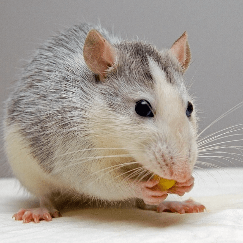 RODENT CONTROL BY AMAZON JACK